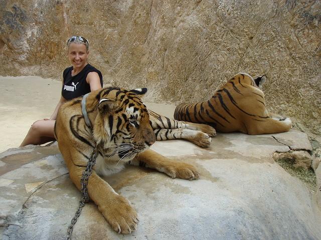 Tiger temple kontroverza (hram tigrova)