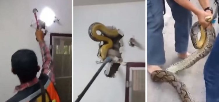 Čuo lupanje u zidu pa pozvao pomoć: Izvukli zmiju od 4,5 m